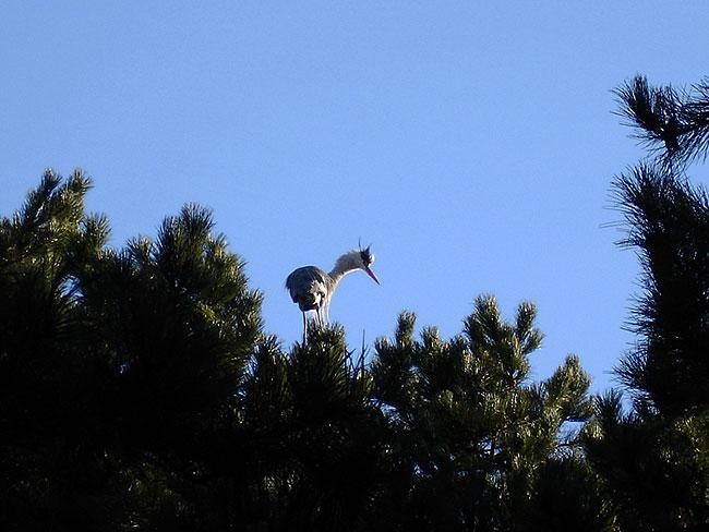 Reiger bovenop 'reigerboom'