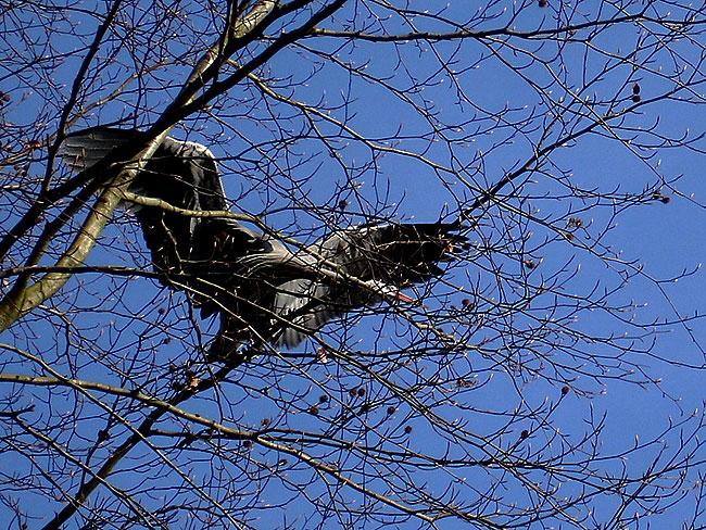 Reiger plukt tak van boom