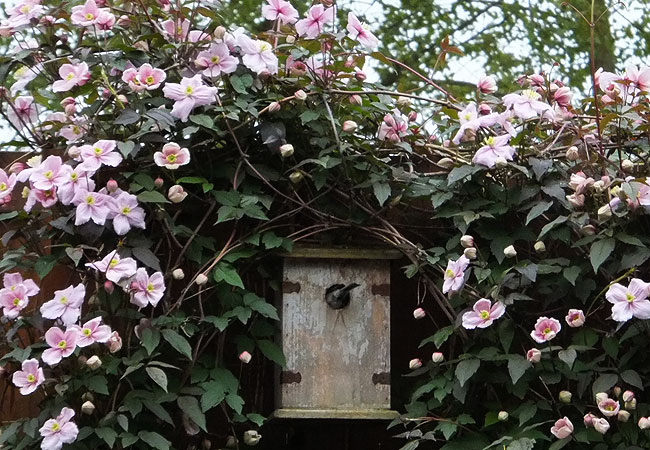 Koolmees in nestkast, verfraaid door de Clematis Montana 'Rubens'