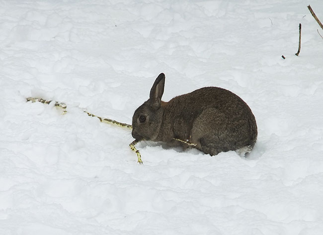 Konijn in de sneeuw eet een lekkere portie 'tak'
