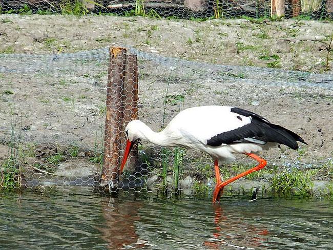 Ooievaar bij de nieuwe natuurvriendelijke oever in het Sloterpark