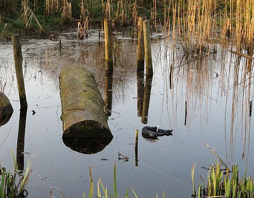 Meerkoet in sierlijke ballet pose in 'Het Meerkoetenmeer' (Het Zwanenmeer vernieuwd).