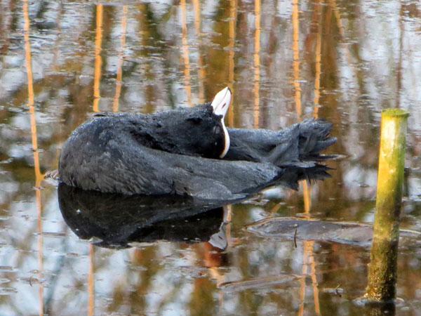 Zwanenmeerkoet sterft een sierlijke dood.
