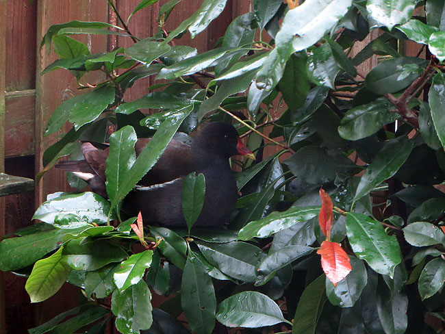 Waterhoen zit te chillen in de boom (Glansmispel/Photinia fraseri 'Red Robin') / Moorhen in tree