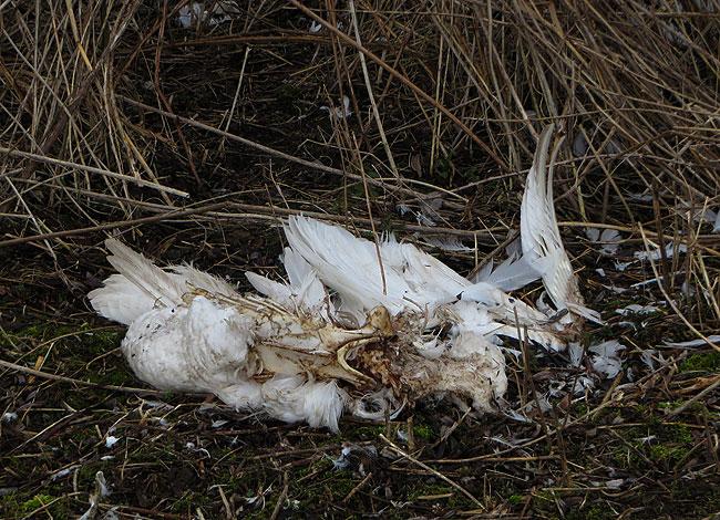 Het karkas van een zwaan lag aan de waterkant