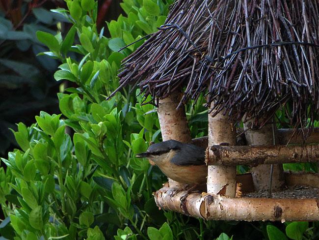 Boomklever eet gehakte zonnebloemkernen uit het voederhuisje