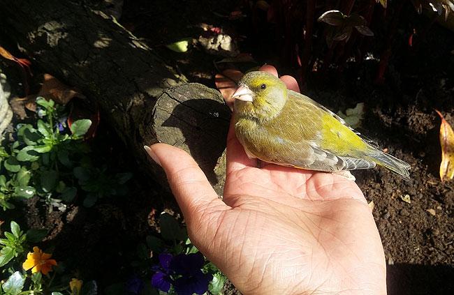 Groenling raamslachtoffer - hij wilde nog niet wegvliegen en bleef liever op Marjori's hand zitten