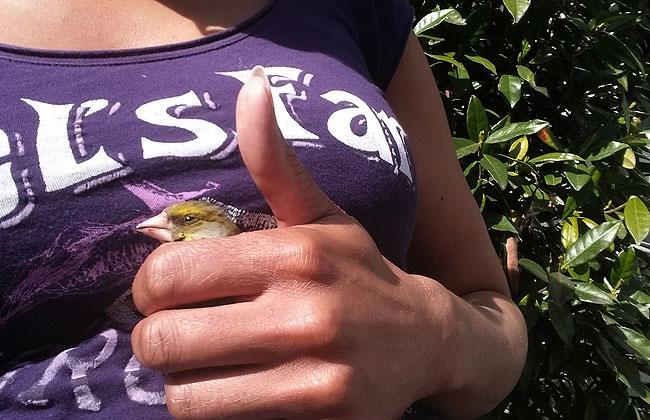 Groenling raamslachtoffer - groenling veilig in het kommetje van Marjori's hand