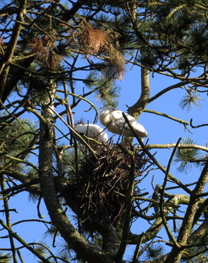 De lepelaars op hun nest - Amsterdam Nieuw-West