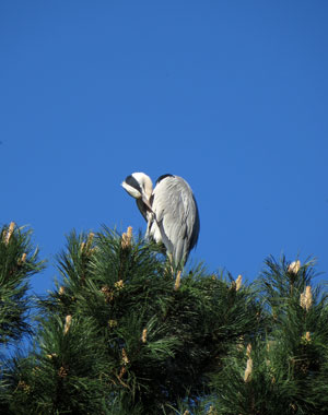 Reiger op de toppen van de naaldboom - Sloterpark Amsterdam Nieuw-West