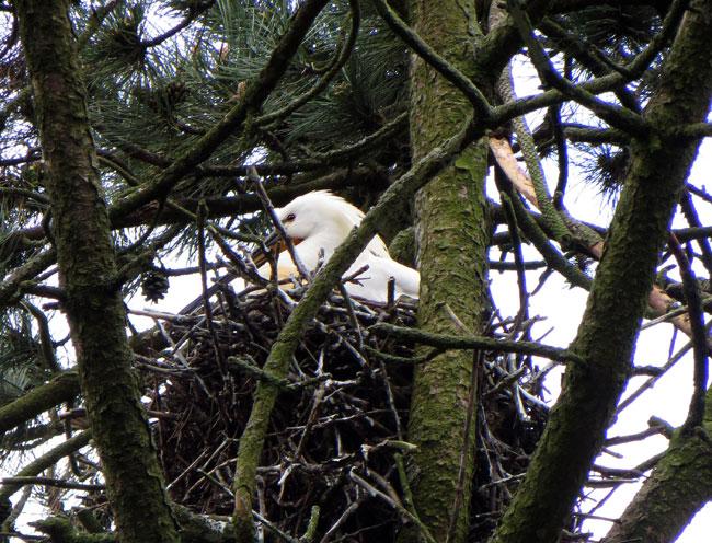 Lepelaar vredig op 't nest - Sloterpark Amsterdam Nieuw-West