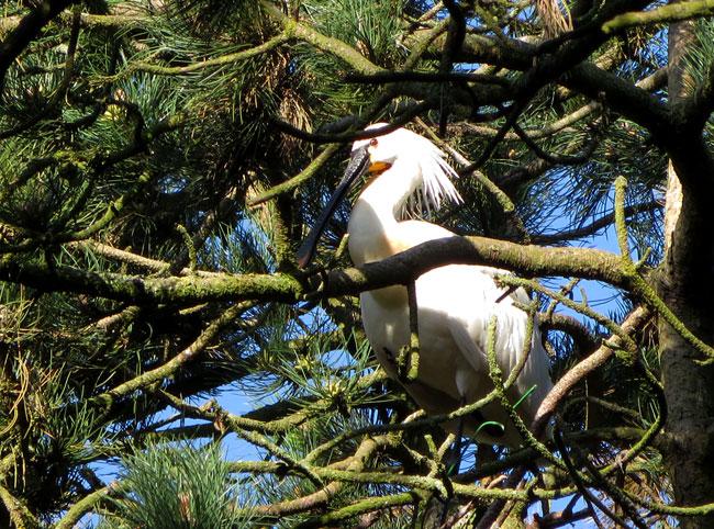2015 - De lepelaars terug in het 'reigersbosje' van het Sloterpark