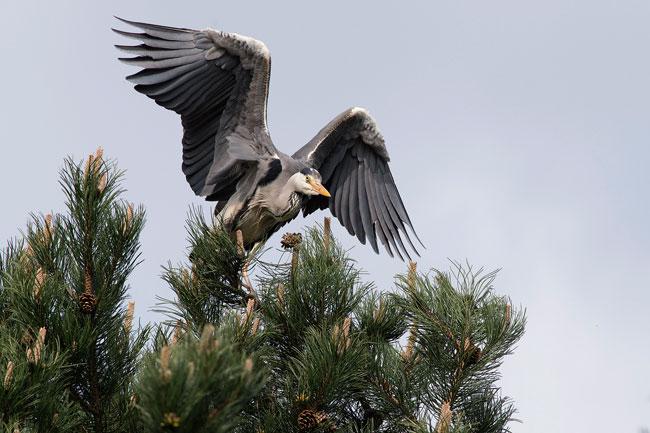 Reiger vindt al die aandacht voor de lepelaars maar niets - Sloterpark Amsterdam Nieuw-West - foto: Paul Koene