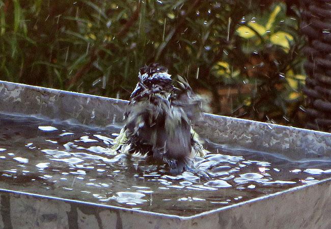 Pimpelmees is verzot op zijn badje. Heerlijk, al dat water.