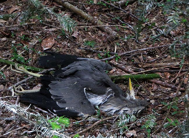 Een dode reiger bij de reigerkolonie in het Sloterpark