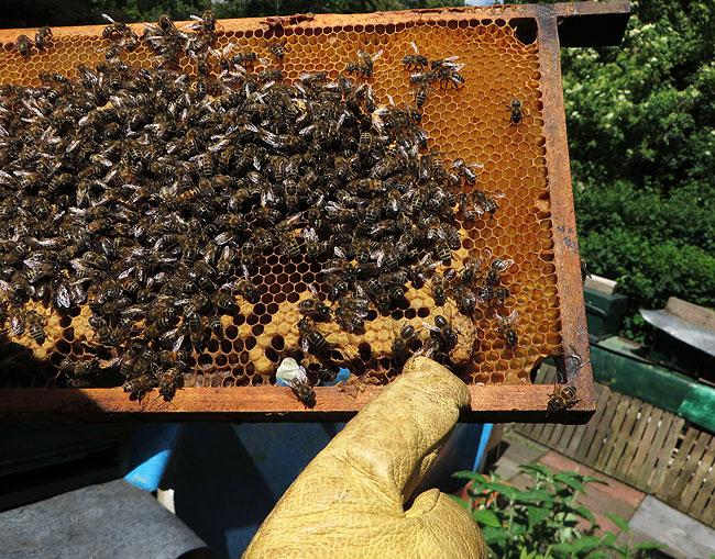 bijen-bijenpark-geuzenveld-2
