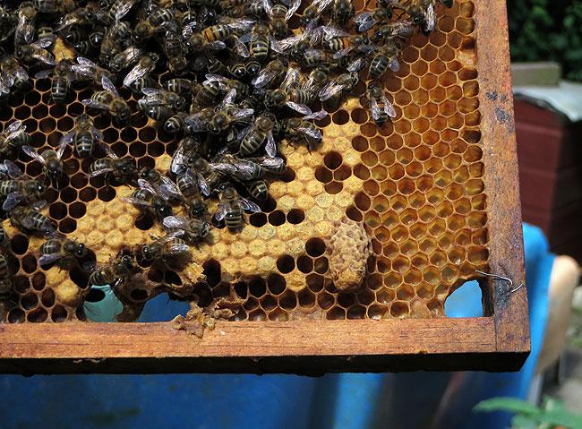 bijen-bijenpark-geuzenveld-3