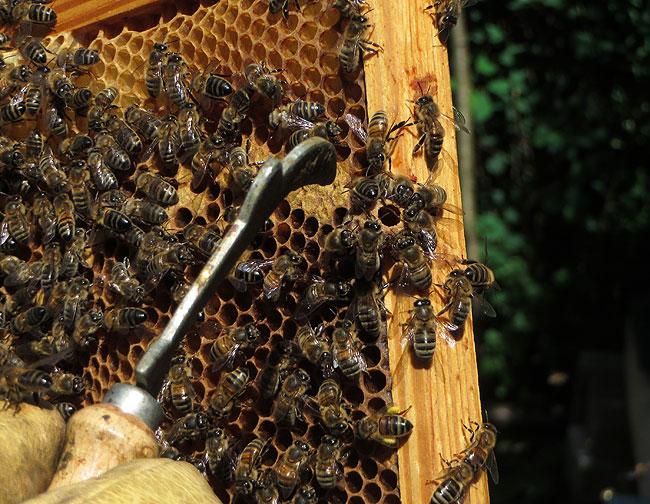 bijen-bijenpark-geuzenveld-4