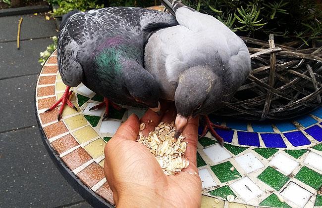 Duivenjong komt uit hand eten, maar krijgt daarna een paar goede tikken van duif Tinus