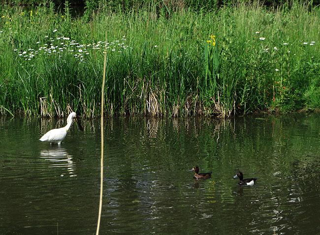 foeragerende-lepelaar-kuifeenden-sloterplas-05062015-8