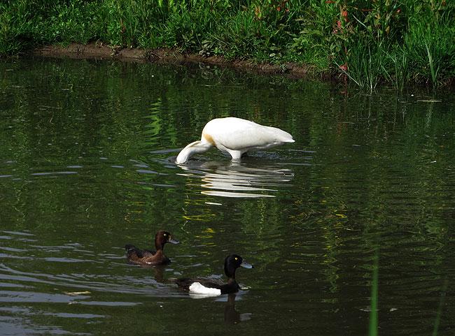 foeragerende-lepelaar-kuifeenden-sloterplas-05062015-9