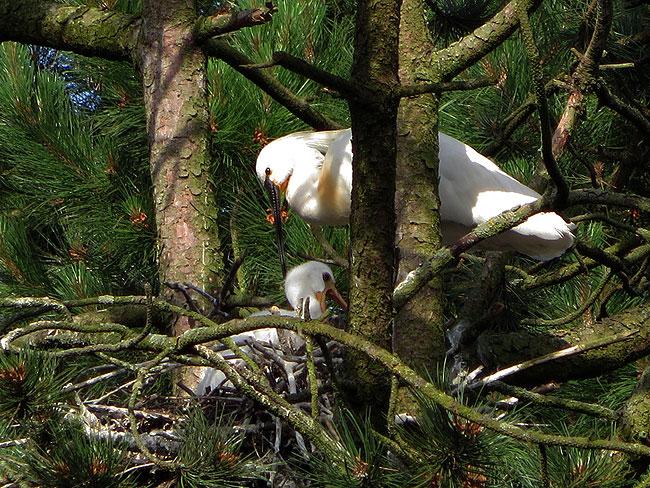 Bij het nest van de lepelaars en hun twee jongen in het Sloterpark