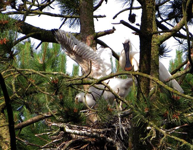 Gefladder op het nest. Het lepelaarsjong is al behoorlijk groot.