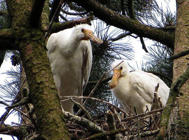 De jonge lepelaars alleen op het nest (maar moeder lepelaar zat een paar takken hoger hoor)