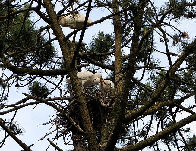Jonge lepelaars alleen op het nest. Mama lepelaar zit een paar takken hoger.