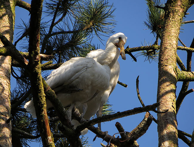 Lepelaartjes Sloterpark zonder... nest!