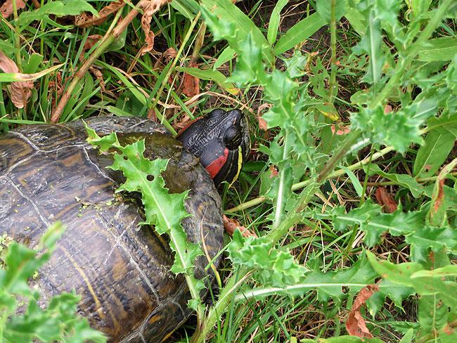 Best een zware bevalling voor mevrouw schildpad