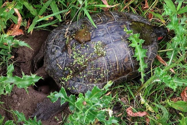 De roodwangschildpad heeft al aardig wat eitjes in het gat liggen