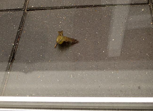 Met een kleine 'pok' was de tjiftjaf tegen het raam gebotst.