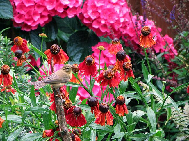 Tjiftjaf vliegt weer vrolijk tussen de frisse kleuren in de tuin.