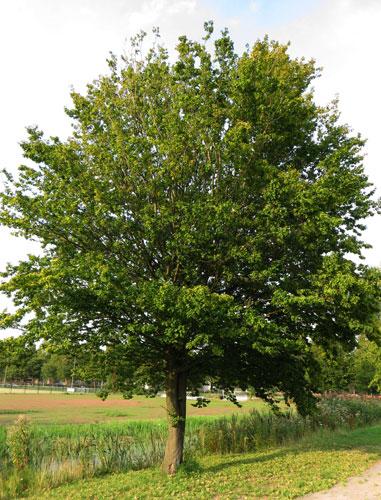 Een pestboom of treiterwilg...?