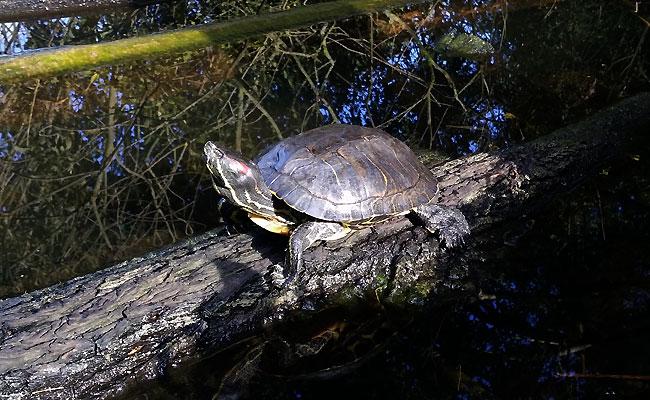 Herfst 2015: roodwangschildpad in Heemtuin Sloterpark