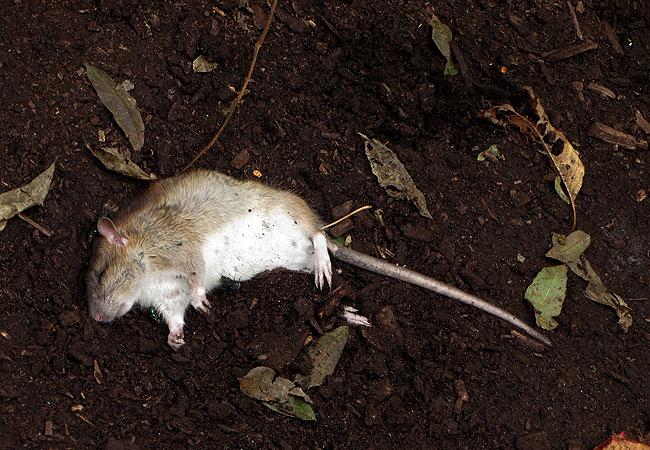 Dode bruine rat in het Ruige Riet