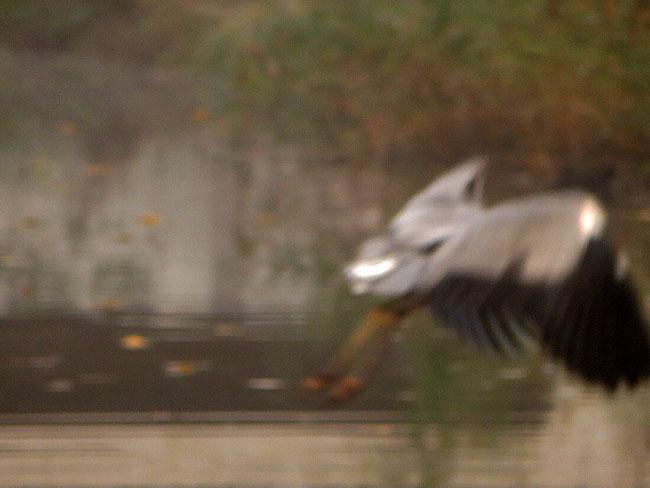 Reiger vliegt weg met vangst: een grote vis!