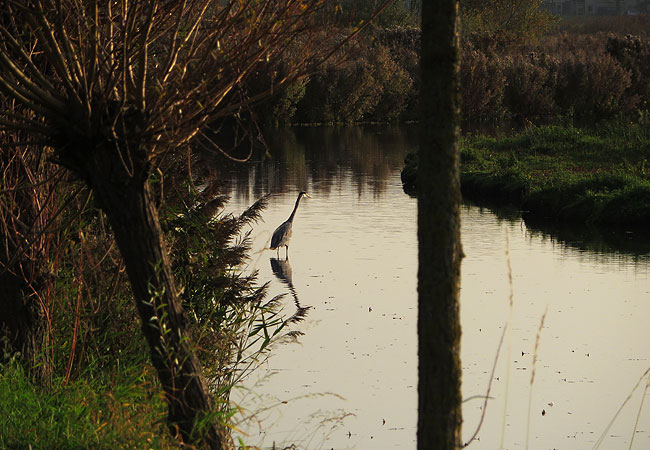 Reiger in volle concentratie in Osdorperpolders