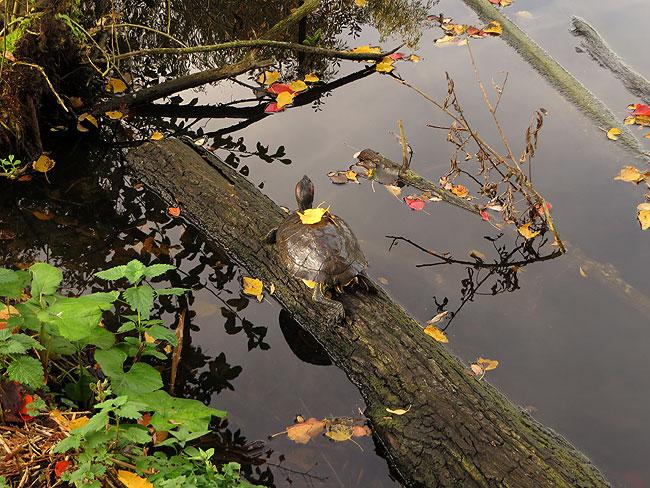 De roodwangschildpad met een geel blad op z'n schild