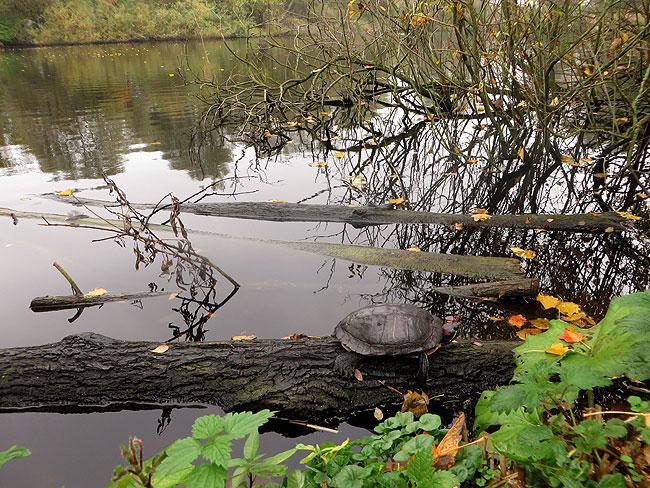 roodwangschildpad-herfst-7