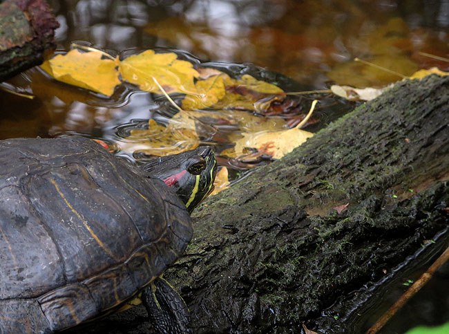 roodwangschildpad-herfst-8