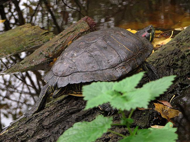 roodwangschildpad-herfst-9