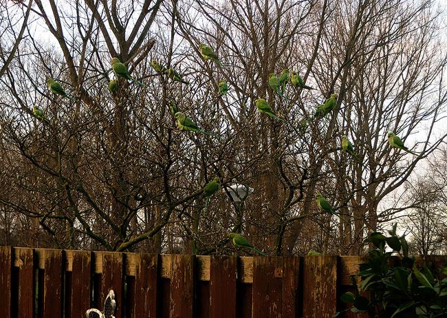 Meer dan twintig parkieten in de boom van de buren naast