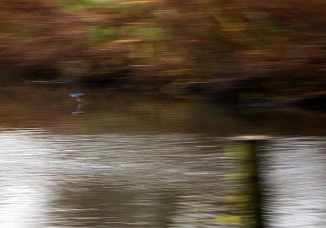De ijsvogel scheert als een blauwe schicht over het water