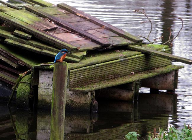 De ijsvogel weet zijn plekjes langs het water wel te vinden