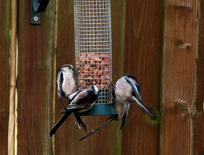 De staartmeesjes in de tuin maken van elke maaltijd een gezellig tafereel
