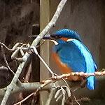 IJsvogel in Geuzenveld, Amsterdam Nieuw-West