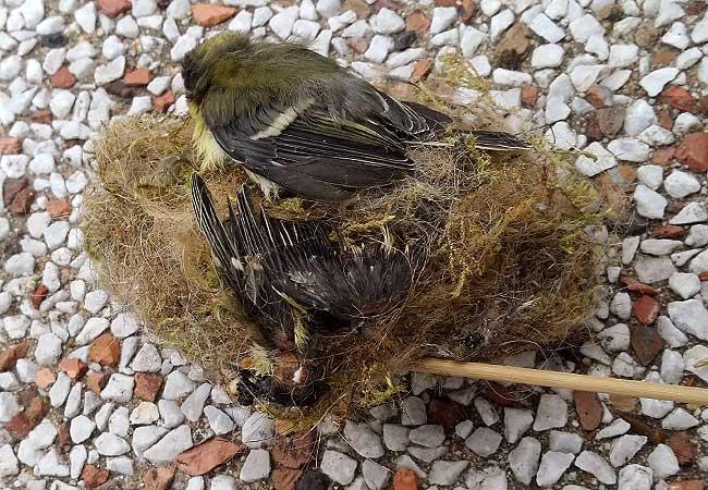 Ja, een vleugel. Er blijkt nog een tweede dode mees te liggen.