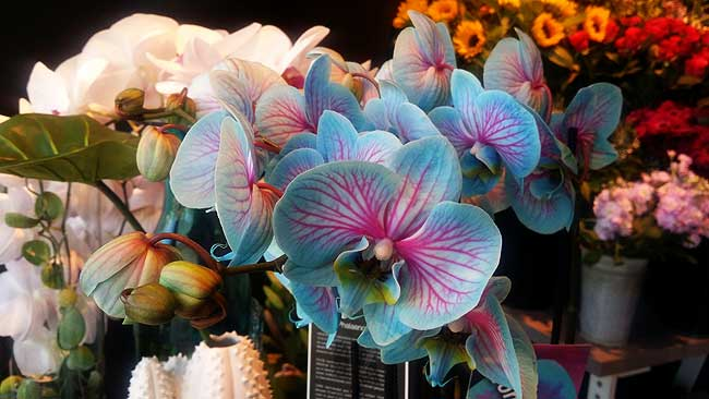 Blauw/roze orchidee van Bloomies